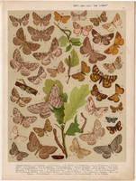 Magyarország lepkéi (47), litográfia 1907, nyomat, lepke, pillangó, hernyó, Boarmia Cinctaria