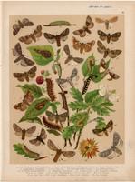 Magyarország lepkéi (32), litográfia 1907, nyomat, lepke, pillangó, hernyó, Thaum. Pityocampa