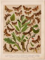 Magyarország lepkéi (31), litográfia 1907, nyomat, lepke, pillangó, hernyó, Notodonta Ziczac, Phoebe