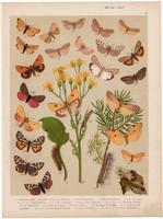 Magyarország lepkéi (22), litográfia 1907, nyomat, lepke, pillangó, hernyó, Endrosa Aurita Mesomella