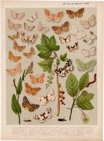 Magyarország lepkéi (44), litográfia 1907, nyomat, lepke, pillangó, hernyó, Acidalia Marginepunctata