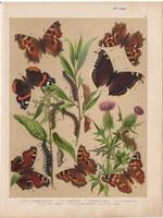 Magyarország lepkéi (10), litográfia 1907, színes nyomat, lepke, pillangó, hernyó, Pyrameis Atalanta