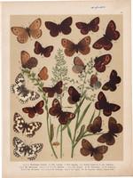 Magyarország lepkéi (13), litográfia 1907, színes nyomat, lepke, pillangó, hernyó Melanargia Galatea