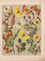 Magyarország lepkéi (5), litográfia 1907, színes nyomat, lepke, pillangó, hernyó, Palaneo, Edusa
