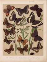 Magyarország lepkéi (14), litográfia 1907, színes nyomat, lepke, pillangó, hernyó, Satyrus Hermione