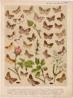 Magyarország lepkéi (49), litográfia 1907, nyomat, lepke, pillangó, hernyó, Larentia Badiata