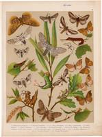 Magyarország lepkéi (30), litográfia 1907, nyomat, lepke, pillangó, hernyó, Perisomena Caecigena