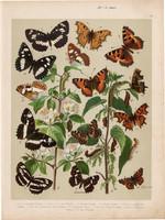 Magyarország lepkéi (9), litográfia 1907, színes nyomat, lepke, pillangó, hernyó, Limenitis Camilla