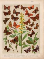Magyarország lepkéi (6), litográfia 1907, színes nyomat, lepke, pillangó, hernyó, Thersamon, Rubi