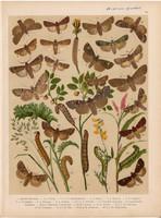 Magyarország lepkéi (34), litográfia 1907, nyomat, lepke, pillangó, hernyó, Agrotis Simulans, Putris