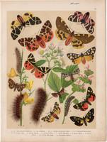 Magyarország lepkéi (23), litográfia 1907, nyomat, lepke, pillangó, hernyó, Callimorpha Dominula