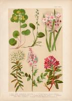 Magyar növények (26), litográfia 1903, színes nyomat, virág, veselke, ezerjófű, havasszépe, körtike