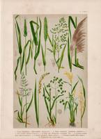 Magyar növények (5), litográfia 1903, színes nyomat, virág, borjúpázsit, ecsetpázsit, gyöngyfű, rizs