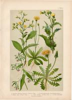 Magyar növények (50), litográfia 1903, színes nyomat, virág, pitypang, csorbóka, mérges saláta