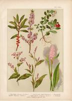 Magyar növények (25), litográfia 1903, színes nyomat, virág, áfonya, keserűfű, boroszlán, pohánka