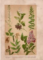 Magyar növények (1), litográfia 1903, színes nyomat, virág, orgona, csikorka, varázslófű, fagyal