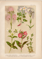 Magyar növények (28), litográfia 1903, színes nyomat, virág, mécsvirág, madársóska, csillaghúr