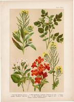 Magyar növények (43), litográfia 1903, színes nyomat, virág, retek, kakukktorma, repcsény, borbálafű