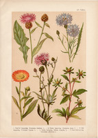 Magyar növények (55), litográfia 1903, színes nyomat, virág, farkasfog, búzavirág, kerti körömvirág