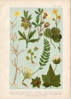Magyar növények (65), litográfia 1903, színes nyomat, virág, boglárka, hunyor, varjúmák, kőrontó