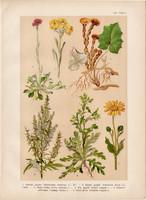 Magyar növények (53), litográfia 1903, színes nyomat, virág, gyopár, árnika, üröm, lókörmű martilapu