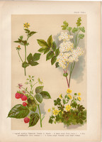 Magyar növények (33), litográfia 1903, színes nyomat, virág, szeder, pimpó, bajnócza, gyömbérgyökér