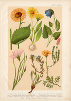 Magyar növények (66), litográfia 1903, színes nyomat, virág, zergevirág, telekia, pozdor, aggófű