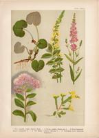 Magyar növények (29), litográfia 1903, színes nyomat, virág, varjúháj, füzény, kapotnyak, párló