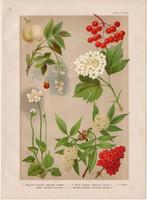 Magyar növények (18), litográfia 1903, színes nyomat, virág, bodza, bangita, hólyagfa, parnasszia