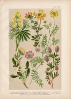 Magyar növények (47), litográfia 1903, színes nyomat, virág, csillagfürt, patkóczím, kerep koronilla