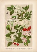 Magyar növények (31), litográfia 1903, színes nyomat, virág, meggy, körte, alma, berkenye, vad