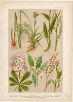 Magyar növények (23), litográfia 1903, színes nyomat, virág, szittyó, lórom, hídőr, bokrétafa