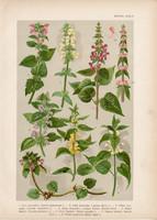 Magyar növények (38), litográfia 1903, színes nyomat, virág, árvacsalán, tisztesfű, pesztercze