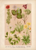 Magyar növények (36), litográfia 1903, színes nyomat, virág, boglárka, hérics, kökörcsin, bércse