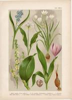 Magyar növények (22), litográfia 1903, színes nyomat, virág, medve hagyma, kikirics, csilla, zászpa