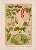 Magyar növények (15), litográfia 1903, színes nyomat, virág, ribiszke, borostyán, szil, kutya benge