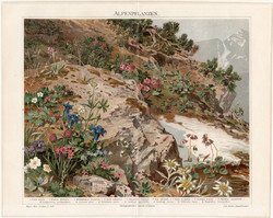 Alpesi növények, litográfia 1894, német nyelvű, eredeti, színes nyomat, virág, növény, Alpok, gyopár