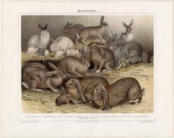 Nyulak, litográfia 1894, német nyelvű, eredeti színes nyomat, nyúl, házinyúl, állat, háziállat