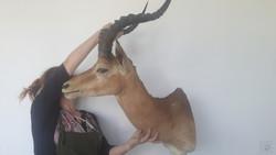 Antilop trófea, preparátum