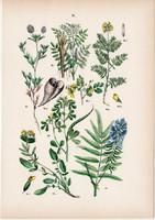 Tarlóhere, görögszéna, nyúlszapuka, édesgyökér, kecskeruta litográfia 1884, német, eredeti, növény