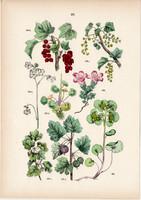 Vörös ribiszke, egres, kőtörőfű, aranyos veselke litográfia 1884, német, eredeti, növény, virág