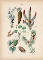 Lucfenyő, vörösfenyő, boróka, tiszafa, békatutaj litográfia 1884 (2), növény, fa, virág, toboz