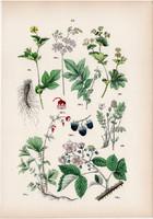 Vadszeder, gyömbérgyökér, legyezőfű, réti palástfű litográfia 1884, német, eredeti, növény, virág