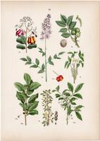 Nagyezerjófű, kecskerágó, kutyabenge, kesu, mérges szömörce litográfia 1884, német, növény, virág