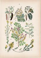 Katechu, szentjánoskenyérfa, egyiptomi szenna, fenyérek litográfia 1884, német, növény, virág