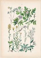 Sárga keltike, borbálafű, sarkantyúka, havasi ikravirág, viola litográfia 1884, német, növény, virág