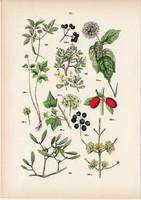 Aráliafélék, borostyán, húsos som, fehér fagyöngy litográfia 1884, német, eredeti, növény, virág