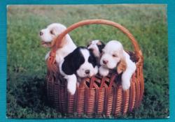 Állatos postatiszta képeslap - Cocker spaniel kölykök