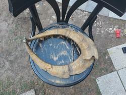 Két muflon szarv, a szék 41 cm átmérőjű...