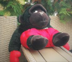 Boxbajnok gorilla majom, boksz kesztyű és nadrág